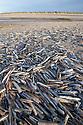 Razor Shell (Ensis Sp.) accumulation, RSPB Titchwell Marsh, Norfolk, UK. November.
