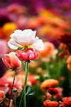 Colorful ranunculus flowers in bloom
