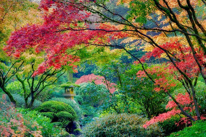 Fall colored japanese maples. Portland Japanese Gardens, Portland, Oregon