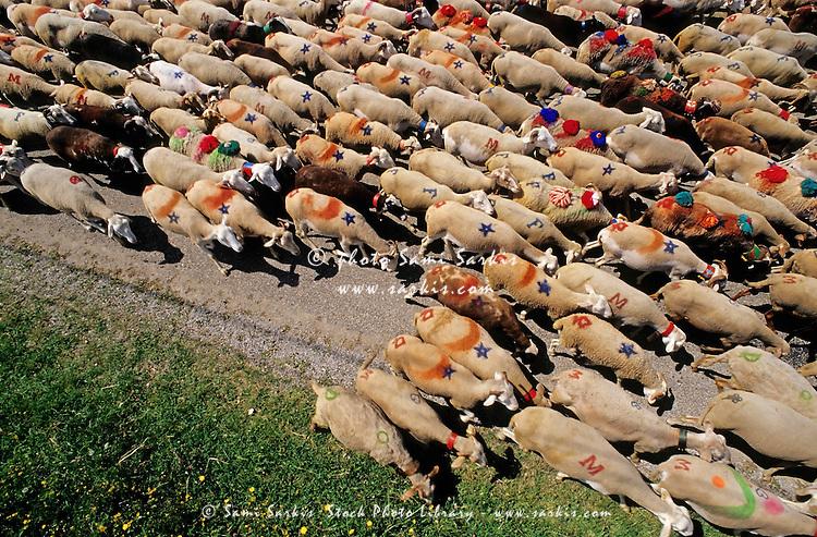 Flock of sheep arriving in Esperou village during a summer transhumance, Gard, Provence, France.