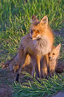 Fox kit hiding behind its mother