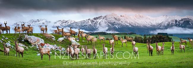 Deer farm near Te Anau at dusk, Southland, South Island, New Zealand