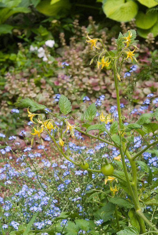 Tomato plant in flower with young vegetables, Myosotis in spring