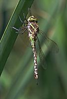 339360022 a wild heteromorph female blue-eyed darner rhionaeschna multicolor perches on a cattail reed along piru creek los angeles county california united states