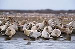 Harbor seals, Iceland