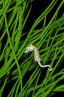 dwarf seahorse, Hippocampus zosterae (c)