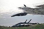 Yala National Park Sri LankaYala National Park Sri Lanka<br /> Indian Pond Heron and Crocodile