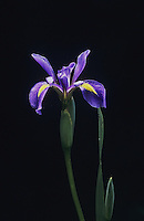 Slender Blue Flag Iris (Iris prismatica), Raleigh, Wake County, North Carolina, USA