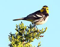 Adult male golden-cheeked warbler