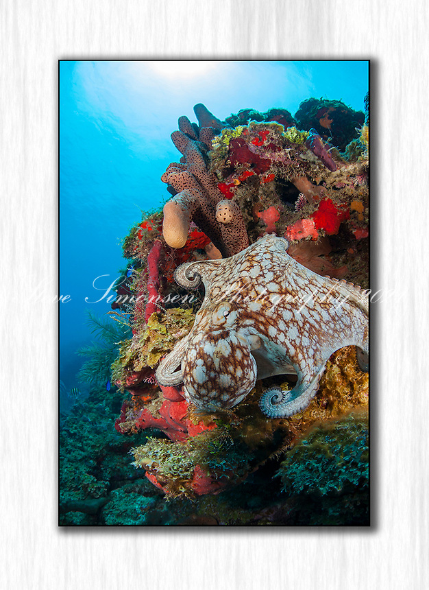Octopus on the Reef<br /> Virgin Islands
