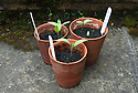 Aubergine seedlings in terracotta pots.
