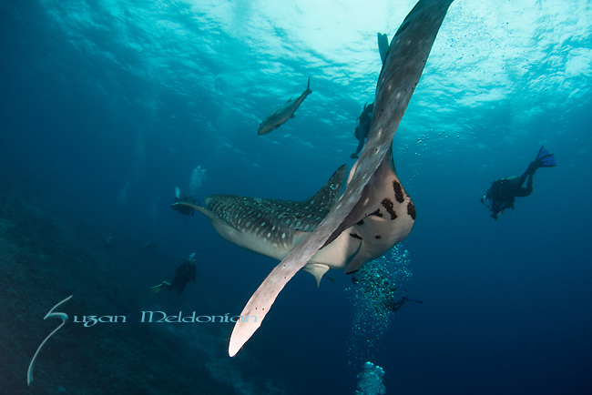 whale shark meets diver, Rhincodon typus, Tubbataha, Philippines