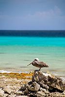 A Brown pelican,Pelecanus occidentalis, rests by the rocky shoreline of Bonaire, Netherlands Antilles, Caribbean Sea, Atlantic Ocean, MR