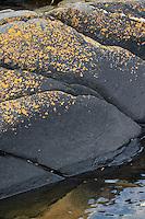 """Flechten an Felsen der Küste, Ostsee, Felsküste, Küstenfelsen, Flechten-Zonierung, Spritzwasserzone, u.a. mit Schwarze Krustenflechte, Schwärzliche Warzenflechte, Hydropunctaria maura, Verrucaria maura  und Schönfleck, Goldgelbe Schönflechte, Caloplaca maritima, Caloplaca citrina var. maritima, Küstenflechten, Krustenflechten, Verrucaria-Gürtel, """"Schwarze Zone"""" als Grenze, Übergangszone vom Festland ins Meer, Schärenküste Schweden"""