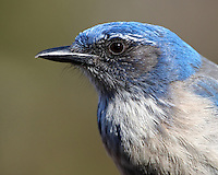 """The """"blue jay"""" of dry Western lowlands, the Western Scrub-Jay combines deep azure blue with dusty gray-brown and white. The rounded, crestless head immediately sets it apart from Blue Jays and Steller's Jays."""