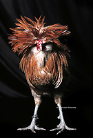 In the photo the race Padovana  chicken.<br /> the Padovana or Padovana dal gran ciuffo is an ancient breed of small crested and bearded chicken from the city and surrounding province of Padova, in the Veneto region of north-eastern Italy, from which it takes its name. Despite continuing discussion surrounding its true origins, it is recognised in Italy as an indigenous Italian breed<br /> Photo Roosters and Hens Ornamental breeds, Italian champion breeds August 2020.
