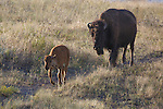 bison calf and cow in montana bison range