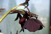 Helleborus hybridus slaty blue hellebore flower