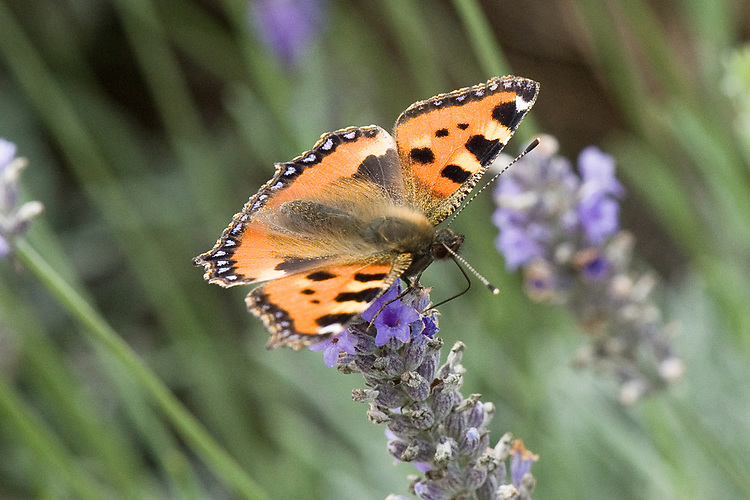 Small tortoiseshell butterfly (Aglais urticae) on lavender, mid August.