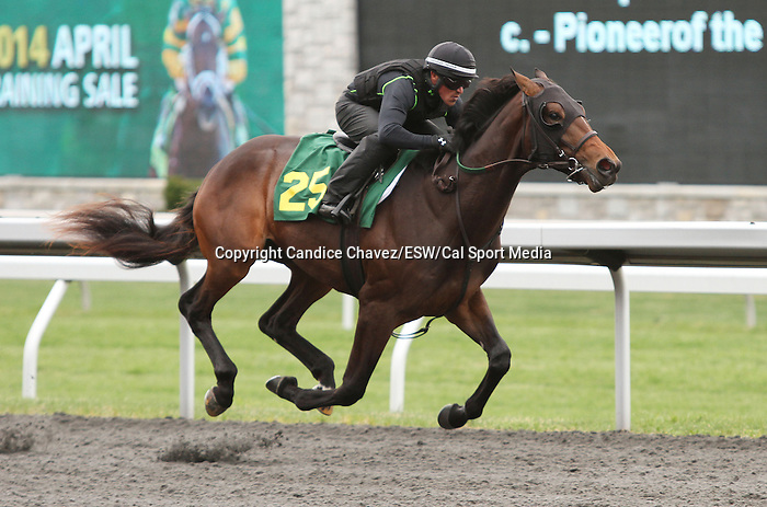 April 03, 2014: Hip 25 Pioneerof the Nile - Perfect Pleasure consigned by Niall Brennan worked 1/4 in 21:1.  Candice Chavez/ESW/CSM