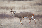 Whitetail buck in grassland in Montana