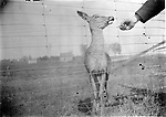 OFFERING A HANDOUT. The photographer or his helper offered a piece of food to a deer then snapped the shutter.<br /> <br /> Photographs taken on black and white glass negatives by African American photographer(s) John Johnson and Earl McWilliams from 1910 to 1925 in Lincoln, Nebraska. Douglas Keister has 280 5x7 glass negatives taken by these photographers. Larger scans available on request.