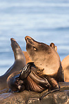 La Jolla, California; a bull male and several female California sea lions resting on the rocky shoreline along the Pacific Ocean, in early morning sunlight