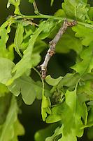Birken-Zackenrandspanner, Raupe, Birken-Zackenspanner, Spannerraupe frisst an Eiche, Ennomos erosaria, September thorn, caterpillar. Spanner, Geometridae, looper, loopers, geometer moths, geometer moth. Tarnung, Tarntracht, Verbergetracht, Camouflage, Mimese, mimesis, Astmimese, Ästchenmimese, Ast-Mimese