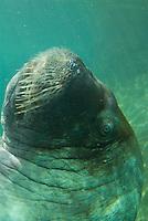 Walrus (Odobenus rosmarus)