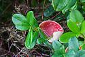 Cowberry (Vaccinium vitis-idaea), with a gall caused by Cowberry Redleaf fungus (Exobasidium vaccinii). Peak District National Park, Derbyshire, UK. November.