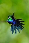 Colibrí Ventrivioleta / colibríes de Panamá.<br /> <br /> Violet-bellied Hummingbird / hummingbirds of Panama.<br /> <br /> Damophilia julie.<br /> <br /> Edición de 25 | Víctor Santamaría.