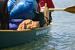 A Golden Retriever enjoying a canoe ride down the Missouri River in Montana