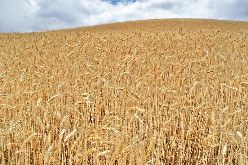 Close up of wheat field. The Palouse. Washington
