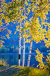 Birch trees in fall color on the shore of Lake MacDonald in Glacier National park in Montana