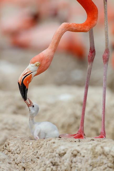 American Flamingo (Phoenicopterus ruber) feeding it's chick in the nest. Yucatan, Mexico.