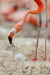 American Flamingo (Phoenicopterus ruber) feeding it's chick in the nest. Yucatan, Mexico.