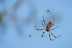 Brazoria County, Damon, Texas; a large female golden silk orb-weaver spider and two much smaller males, sitting in their web, waiting for prey, with a late afternoon blue sky in the background