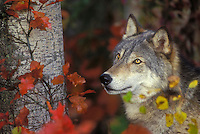 Gray Wolf (Canis lupus) & autumn maple leaves, eastern North America.
