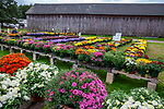 Colorful flowers at a farm stand in Massachusetts