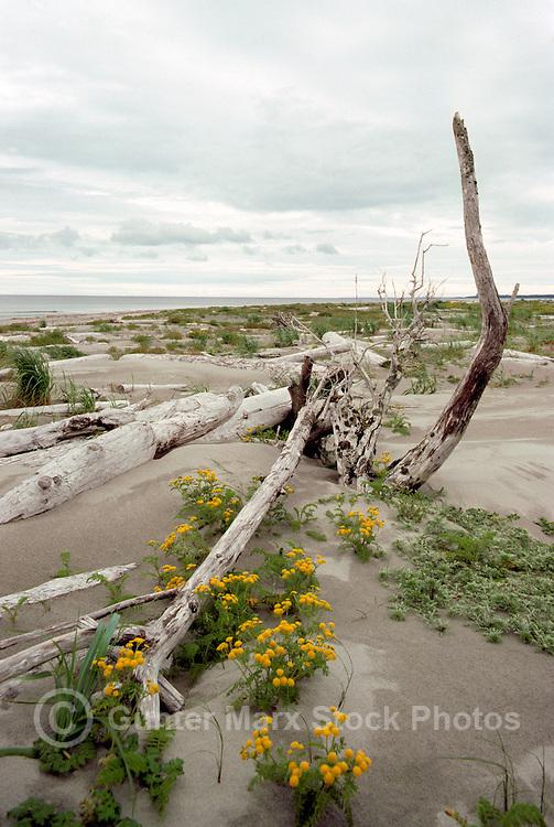 Queen Charlotte Islands (Haida Gwaii), Northern BC, British Columbia, Canada - Driftwood and Wildflowers on Sandy North Beach along McIntyre Bay, Naikoon Provincial Park, Graham Island
