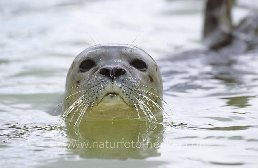 Seehund, Portrait, See-Hund, Robbe,  Phoca vitulina, harbor seal, common seal