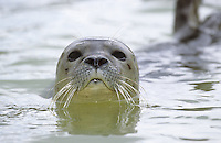 Seehund, Portrait, See-Hund, Robbe,  Phoca vitulina, harbor seal, common seal