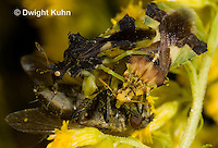 AM06-559z  Ambush Bugs mating while male and female both feed on insect, goldenrod flowers, Phymata americana