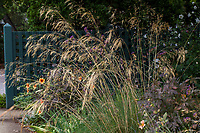 Stipa gigantea ornamental grass; Gamble Garden, Palo Alto, California