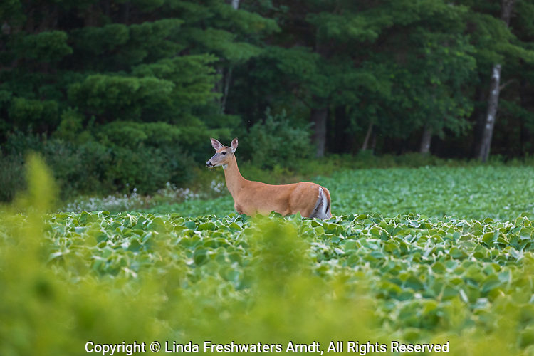 White-tailed doe in a soybean field in northern Wisconsin.