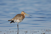 Black-tailed Godwit, Limosa limosa, adult in breeding plumage calling,National Park Lake Neusiedl, Burgenland, Austria, April 2007