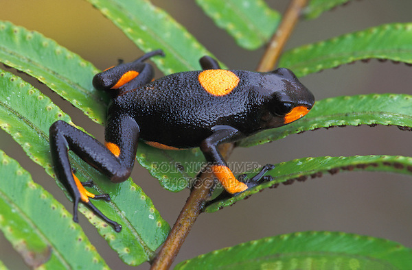 Harlequin Poison Frog (Dendrobates histrionicus), adult, Risaralda, Colombia