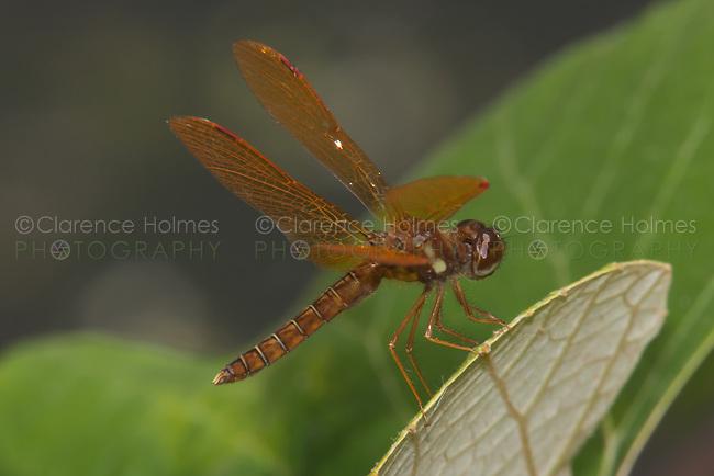 Eastern Amberwings (Perithemis tenera) Dragonfly - Male, Rockefeller State Park Preserve, Potanico Hills, Westchester County, New York