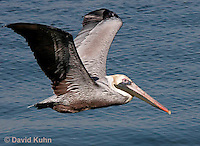 0307-0823  Flying Brown Pelican, Pelecanus occidentalis  © David Kuhn/Dwight Kuhn Photography.