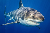 great white shark, Carcharodon carcharias, female, Guadalupe Island, Mexico, Pacific Ocean